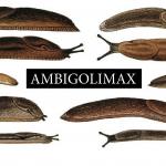 AMBIGOLIMAX